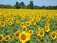 Sunflowers in the fields during summer , nature and agriculture at isle sur la surge Provence , France.