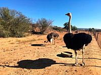 Ostrich in Safari, ostrich farm in Oudtshoorn, South Africa.