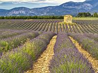 lavender, lavandula, field with derelict building, Valensole Plateau, Provence, France.