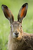Brown Hare / European Hare / Feldhase ( Lepus europaeus ) watching surprised, funny close up, detailed frontal view, wildlife, Europe.