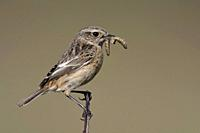 European Stonechat / Schwarzkehlchen ( Saxicola torquata ), female, songbird, perched on top of a branch, with prey in beak to feed offspring, wildlif...