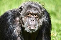 Female chimpanze portrait, 41 years old (Pan troglodytes) captive, Beauval Zoo Parc, France.