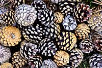Pine cones in a pine wood of Bustarviejo, Madrid, Spain