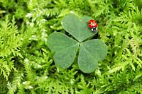 ladybird, Coccinellidae, on clover, Switzerland.