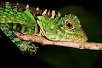 Chameleon Forest Dragon or Chameleon Anglehead Lizard (Gonocephalus chamaeleontinus), Kubah National Park, Sarawak, Malaysia