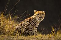 Cheetah (Acinonyx jubatus), Masai Mara National Reserve, Kenya.