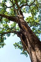 Cork oak in Istán, Málaga, Andalusia, Spain, Europe.