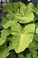 Taro (Colocasia esculenta). Known as Kalo and Elephant ears also.
