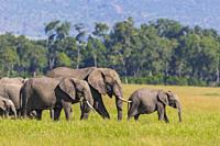 African elephants (Loxodonta africana), herd, adult with young walking in grass, Masai Mara National Reserve, Kenya.
