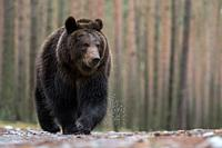 Brown Bear / Braunbaer ( Ursus arctos ) walking over wet ground, in front of a boreal forest, impressive encounter, frontal shot, low point of view, E...