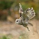 Tawny Owl / Waldkauz ( Strix aluco ) in noiseless flight, flying, hunting, side view, autumn, Europe.