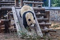 Giant Panda bear in Beijing, capital city of China.