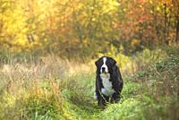 Milano province, Lombardy, Italy, Europe. A Bernese mountain dog standing in the tall grass.