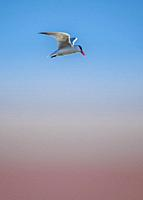 Common tern (Sterna hirundo) in flight, Lake Ontario.