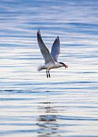Common tern (Sterna hirundo) catching fish, Lake Ontario.