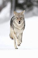 Coyote / Kojote ( Canis latrans ) in winter, high snow, in a hurry, running, frontal view, seems to be happy, looks funny, Yellowstone NP, Wyoming, US...