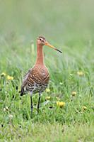 Black-tailed Godwit / Uferschnepfe ( Limosa limosa), adult, standing stretched in a vernal flowering dandelion meadow, watching around attentively, wi...