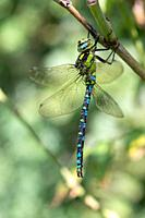 Southern hawker, or Aeshna cyanea dragonfly sitting on a branch.