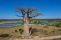 Baobab tree, Adansonia grandidieri, Madagascar.