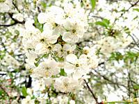 Flowers white color apple tree branch blossoms in summer day nature.
