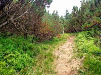 Juniper path in mountain Hiking through Karpathians mountain near Lugi village nature.