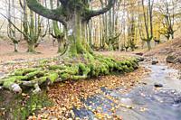 Beech trees forest of Otzarreta, Natural Park of Gorbeia, Vizcaya, Spain.