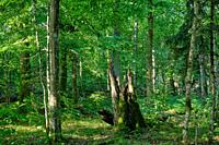 Summertime natural deciduous forest with oak and hornbeam trees, Bialowieza Forest, Poland, Europe.