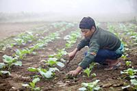 Bangladesh - November 25, 2014: An young boy in winter morning while working in her family cauliflower vegetable garden in Ranisankail, Thakurgaon, Ra...