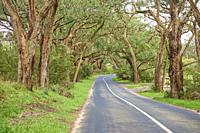 Landscape of a road (Lighthouse Road) going through a Gum tree (Eucalyptus) forest in spring, Great Otway National Park, Australia.