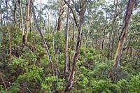 Landscape of a Gum tree (Eucalyptus) forest in spring, Koala Cove, Great Otway National Park, Victoria, Australia.