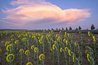 Field of sunflowers sunset clouds El Pobo Teruel Aragon Spain.