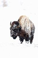 American bison (Bison bison) in winter, covered with snow and ice, in harsh winter weather condtions, Yellowstone NP, USA.
