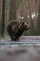 Eurasian Brown Bear (Ursus arctos), young cub in a hurry, running fast through a frozen puddle, crossing a forest road, in winter, Europe.