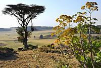 Ethiopia, Amhara region, Debark surroundings, Lonely tree and cow.