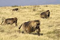 Ethiopia, Amhara region, World Heritage Site, Simien Mountains National Park, Gelada baboons.
