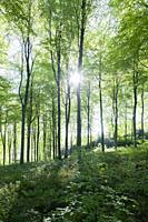 A beech woodland in spring at Rowberrow Warren in the Mendip Hills, Somerset, England.
