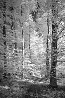 An infrared image of a beech woodland at Rowberrow Warren in the Mendip Hills, Somerset, England.