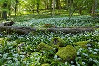 Ramsons (Allium ursinum) or Wild Garlic in flower in springtime at Rowberrow Warren in the Mendip Hills, Somerset, England.