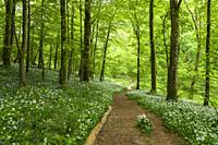 Ramsons in Long Wood which forms part of the Cheddar Gorge complex in the Mendip Hills, Somerset, England.