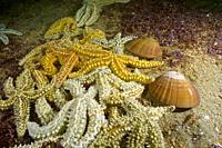 Spinny Starfish (Marthasterias glacialis) attacking a Brown venus. Smooth callista. Smooth Clam (Callista chione). Eastern Atlantic. Galicia. Spain. E...