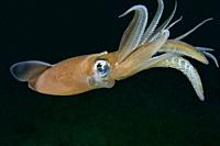Common squid. Squid (Loligo vulgaris). Eastern Atlantic. Galicia. Spain. Europe.