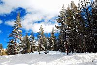 Pines and redwoods still hold their snow following a storm in the Sierra Nevada Mountains.