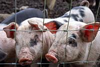 Saddleback piglets (sus scrofa domesticus) behind the fencing of a pigsty.