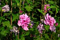 Hibiscus syriacus is a species of flowering plant in the mallow family, Malvaceae. It is native to south-central and southeast China, but widely intro...