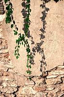 deteriorated wall with vine plant for backgrounds and textures