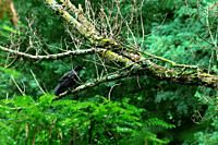 crow on a tree branch in full vegetation for backgrounds and textures