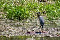 Great blue heron fishing at Springfield Conservation Center in Springfield, Missouri.