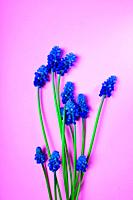 Blue spring flowers on a pink surface, a muscari flower or a mouse hyacinth, empty space.