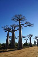 Allée des Baobabs, Avenue of the Baobabs, Morondava, Menabe region, Western Madagascar.