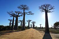 Allée des Baobabs, Avenue of the Baobabs, Morondava, Menabe region, Western Madagascar.